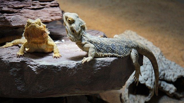 baby bearded dragon care