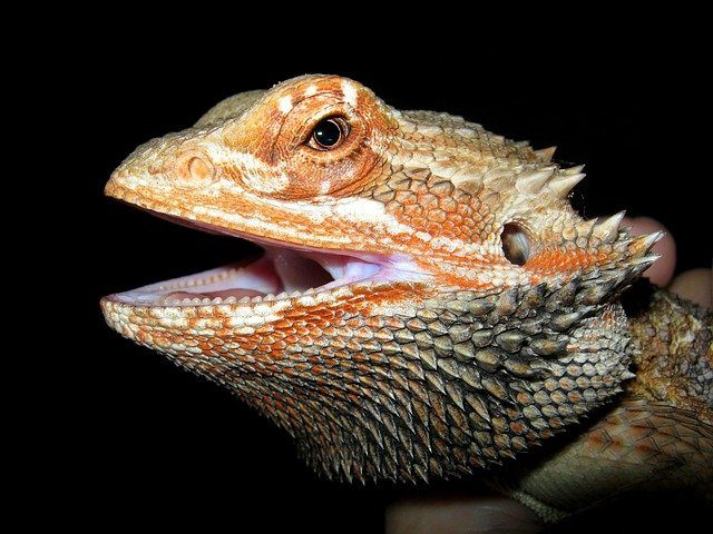 red bearded dragon care